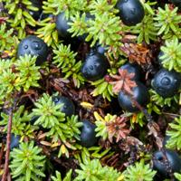 Lofoten Black crowberry